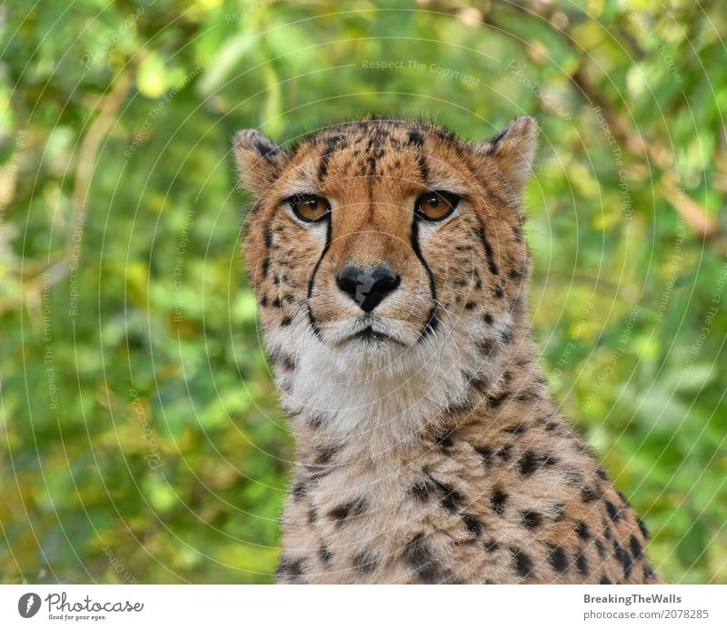 Schließen Sie herauf das Porträt des Gepards Kamera über Grün betrachtend Sommer Natur Tier Wildtier Tiergesicht Zoo 1 Blick niedlich wild grün Aussicht