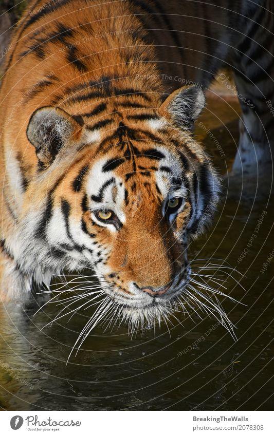Schließen Sie herauf Porträt des jungen sibirischen Tigers im Wasser Natur Tier Wärme Wildtier Katze Tiergesicht Zoo 1 laufen Blick wild Leopard Schnauze