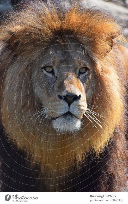 Schließen Sie herauf Porträt des netten Löwes mit der schönen Mähne Natur Tier Wildtier Katze Tiergesicht Zoo 1 Blick niedlich wild Macht Mut reif Schnauze