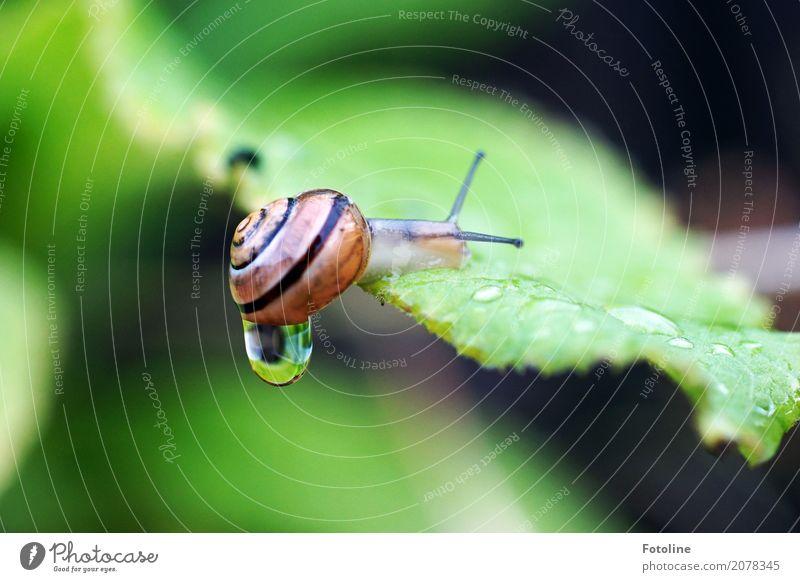 tropf tropf Umwelt Natur Pflanze Tier Urelemente Wasser Wassertropfen Sommer Regen Blatt Garten Park Schnecke 1 hell klein nah nass natürlich braun grün