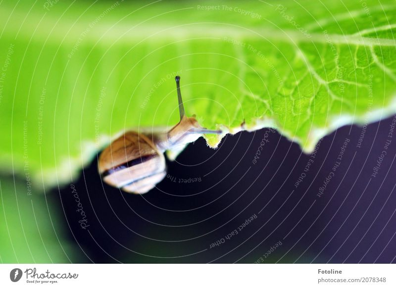 drunter Umwelt Natur Pflanze Tier Urelemente Wasser Wassertropfen Sommer Blatt Garten Park Schnecke 1 frei hell klein schleimig braun grün weiß Schneckenhaus