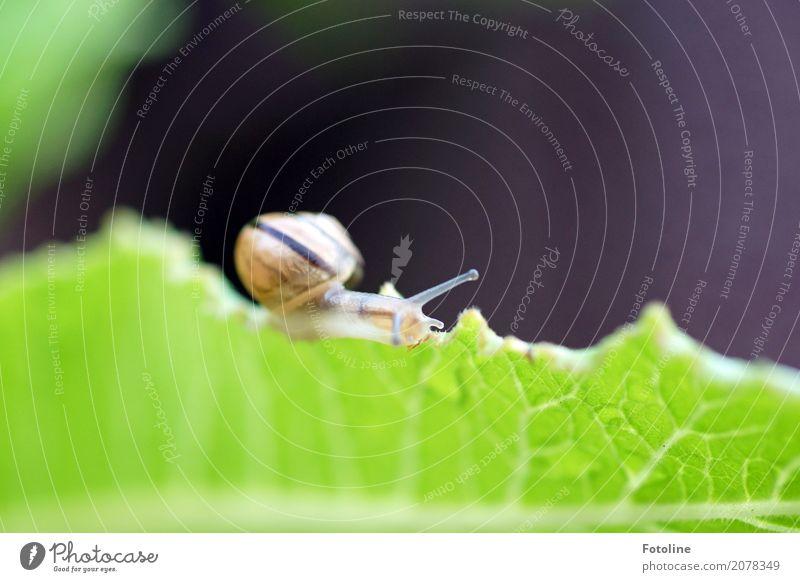 Minischnecke Umwelt Natur Pflanze Tier Sommer Blatt Garten Park Schnecke 1 frei nah nass natürlich braun grün Fühler Schneckenhaus krabbeln schleimig Farbfoto