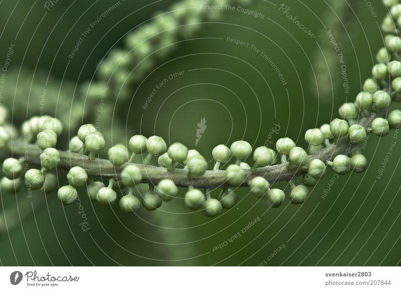 Molekül Natur grün Pflanze Sommer Umwelt Ast Zweig Blütenknospen Grünpflanze Makroaufnahme