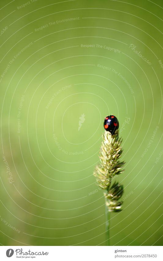 Asiatischer Marienkäfer Natur Pflanze Tier Gras Wildtier Käfer exotisch lustig Vielfarbiger Marienkäfer Harlekin-Marienkäfer Harmonia axyridis Insekt