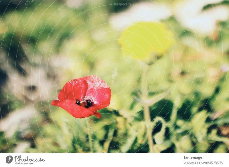 Mohnblume Natur Schönes Wetter Blume Blüte Garten Park Wiese Feld ästhetisch schön Mohnblüte Mohnfeld hell Wärme Sommer sommerlich Blumenwiese rot gelb grün