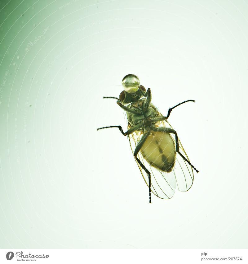 ein tröpfchen in ehren Luft Fliege Flügel Schmeißfliege Insekt leckrüssel 1 Tier Wassertropfen Tropfen Blase Kugel trinken Ekel groß nah skurril