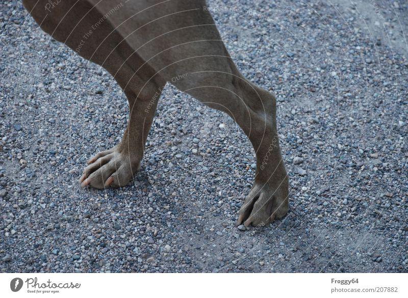 Man zeigt Bein! Umwelt Tier Haustier Hund Fell Krallen Pfote 1 Stein Sand gehen stehen dünn schön geduldig ruhig Farbfoto Gedeckte Farben Außenaufnahme