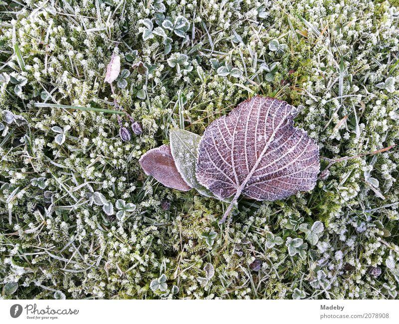 Lila Lindenblatt auf bemoostem Rasen mit Raureif Winter Garten Umwelt Natur Pflanze Tier Herbst Klima Wetter schlechtes Wetter Eis Frost Baum Moos Blatt Park