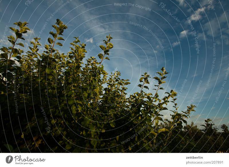 Bevor ich die Heckenschere hatte Natur Himmel grün blau Pflanze Sommer Wolken Wachstum Grenze Grünpflanze Zweige u. Äste Juni Blattgrün Blätterdach Liguster