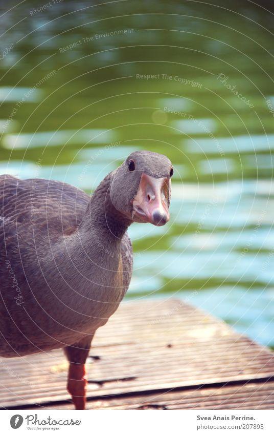 neugierig. Natur Wasser Tier See Tiergesicht beobachten Neugier Wildtier Steg Schönes Wetter Schnabel Gans Vogel zutraulich aufdringlich