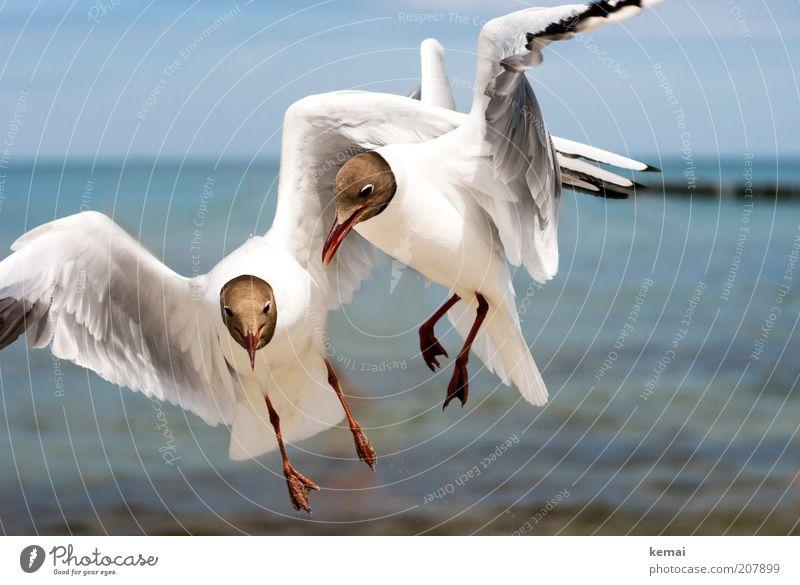 Futterneid Umwelt Natur Tier Himmel Sonnenlicht Sommer Klima Schönes Wetter Wärme Küste Ostsee Meer Wildtier Vogel Tiergesicht Flügel Möwe Schnabel 2 fliegen