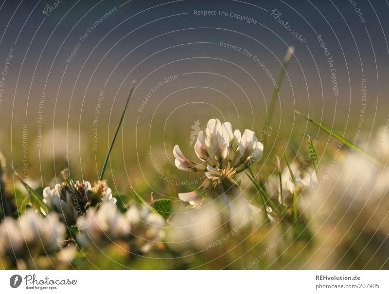 """""""Frischen Klee, oder irgendsowas passendes."""" Sommer Pflanze Gras blau grün Kleeblüte Rasen Natur Leben Blume Halm Detailaufnahme klein leuchten Atmosphäre"""