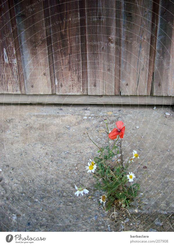 We will survive! Blume Pflanze Sommer Wand Blüte Holz Stein Wärme Sand Fassade einfach Mohn trocken Holzbrett Scheune Dürre