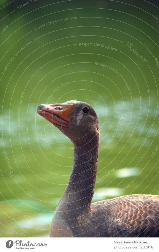 gibs mir. Natur Wasser grün Sommer Tier Frühling See Umwelt Tiergesicht beobachten Neugier Wildtier Schönes Wetter Hals Teich Ente