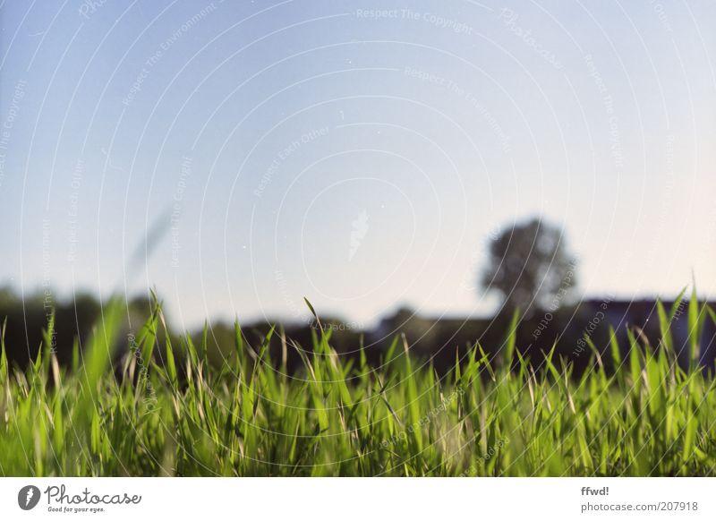 Wiese Umwelt Natur Himmel Wolkenloser Himmel Gras Wachstum frisch natürlich saftig ruhig Idylle gedeihen Farbfoto Außenaufnahme Textfreiraum oben Tag Licht