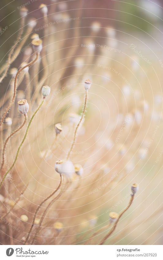 Mohn Geflecht Natur Pflanze Sommer Blume Gras alt natürlich Außenaufnahme Schwache Tiefenschärfe Mohnkapsel