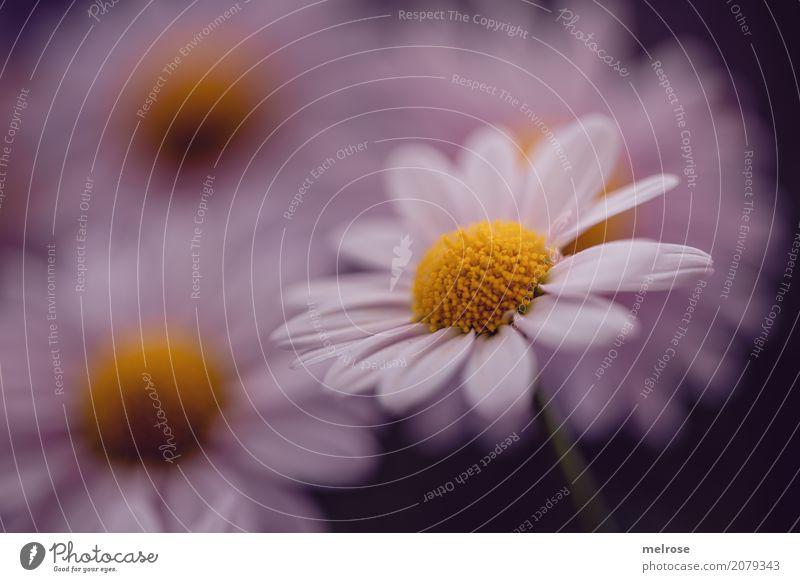 Freitagsblümschchen Valentinstag Geburtstag Natur Pflanze Sommer Blume Sträucher Blatt Blüte Wildpflanze Margerite Margeritenstock Korbblütengewächs