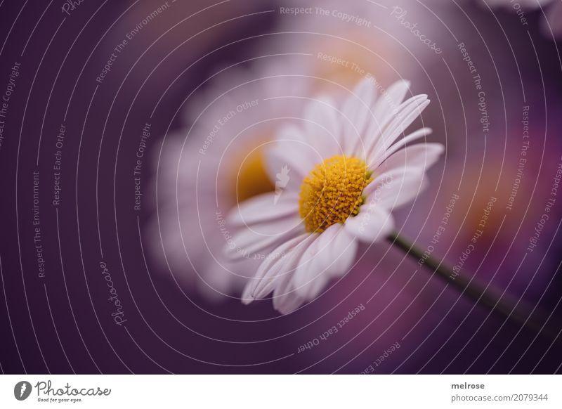 Margerite elegant Stil Valentinstag Geburtstag Natur Pflanze Sommer Schönes Wetter Blume Sträucher Blatt Blüte Wildpflanze Margeriten Korbblütengewächs