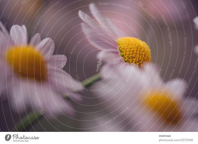 gelb gepunktet elegant Stil Geburtstag Natur Pflanze Sommer Schönes Wetter Blume Sträucher Blatt Blüte Wildpflanze Margeritenstrauch Korbblütengewächs