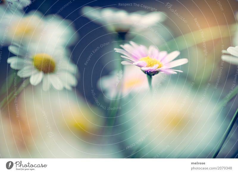 einzigartig elegant Stil Muttertag Geburtstag Natur Pflanze Sonnenlicht Sommer Schönes Wetter Blume Sträucher Blüte Wildpflanze Margerite Korbblütengewächs