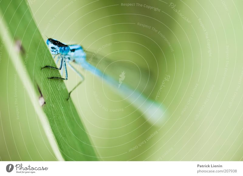 Azurjungfer Umwelt Natur Pflanze Tier Sommer Gras Wildtier Tiergesicht Flügel 1 Libelle blau grün Blick schön ruhig Farbfoto Detailaufnahme Makroaufnahme