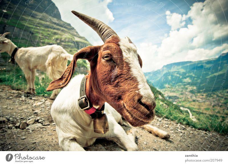 Ziegen die auf Männer starren weiß Sommer Wolken Tier Berge u. Gebirge braun warten sitzen Tiergesicht liegen Alpen Gelassenheit Schönes Wetter Weitwinkel Horn Glocke