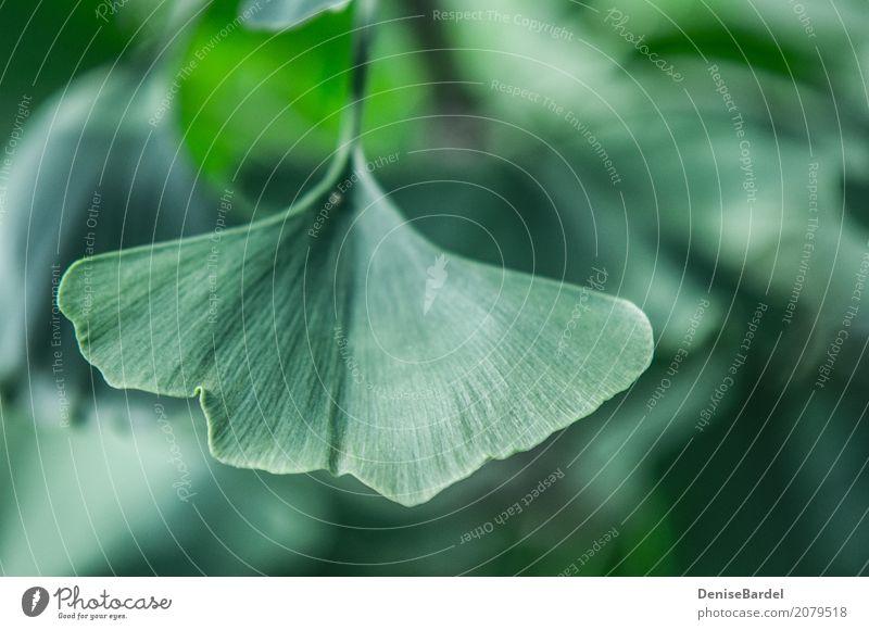Ein Gingko Biloba Blatt im Fokus Gesundheitswesen Ginkgo Garten Park Wald grün Zufriedenheit Erholung nachhaltig Umwelt Umweltverschmutzung Umweltschutz
