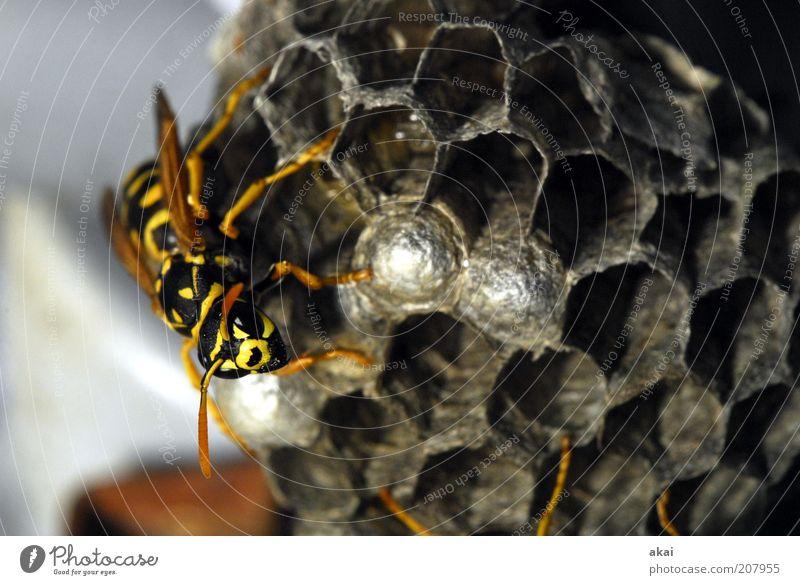 Wächterin der Brut - Wespe Natur Sommer Tier Wildtier Tiergesicht Flügel 1 krabbeln gelb schwarz fleißig diszipliniert Ausdauer Entschlossenheit Wespennest