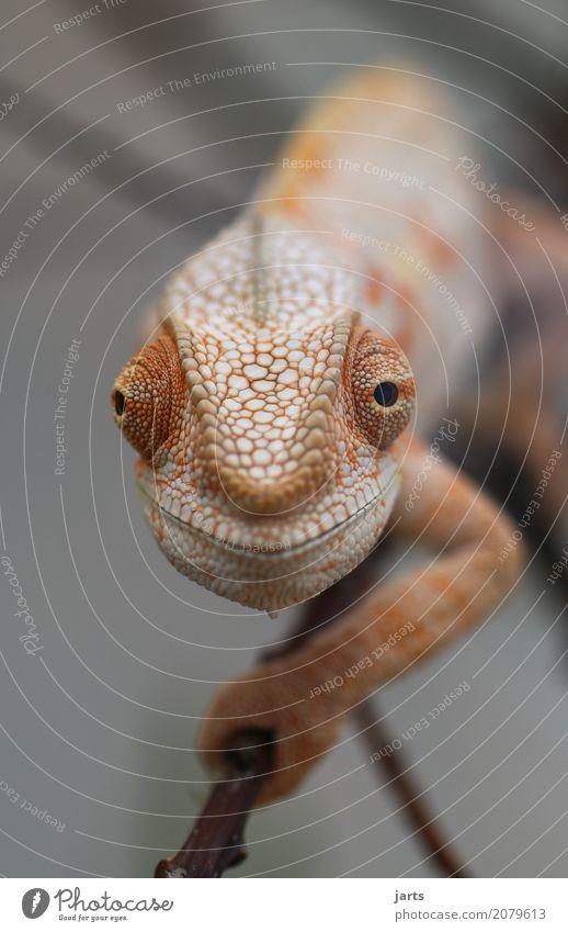 karl-heinz I Wildtier 1 Tier krabbeln Blick außergewöhnlich lustig Optimismus Gelassenheit Natur Chamäleon Neugier Schuppen Auge Klettern Lächeln Farbfoto