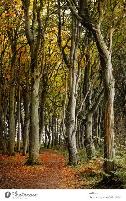 Gespensterwald Nienhagen im Herbst Natur Buchenwald Baum Herbstfärbung Herbstlaub Wald Naturschutzgebiet Wege & Pfade herbstlich Farbfoto Außenaufnahme Waldweg