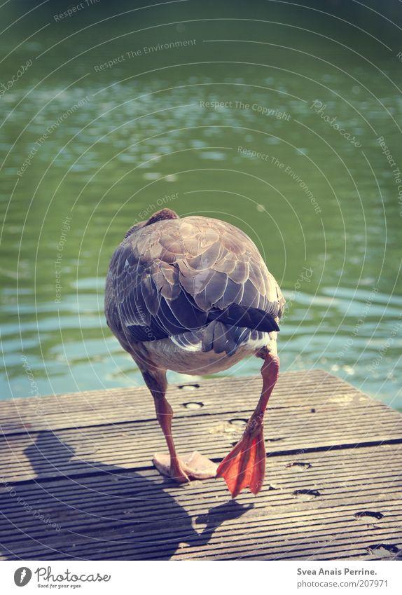 ich hau ab. Natur grün Tier Holz See gehen Hinterteil natürlich Wildtier Metallfeder Steg Schönes Wetter Teich Ente Gans Vogel