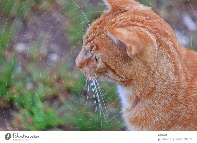 angespannt Haustier Katze Fell Fellfarbe Tigerfellmuster Schnurrhaar Ohr Hauskatze beobachten Blick blond schön kuschlig niedlich klug rot Optimismus