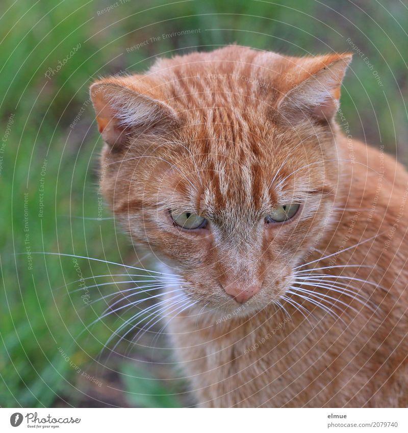anpeilen Haustier Katze Fell Fellfarbe Hauskatze Schnurrhaar Auge Ohr beobachten entdecken Blick authentisch kuschlig nah Neugier niedlich rot selbstbewußt