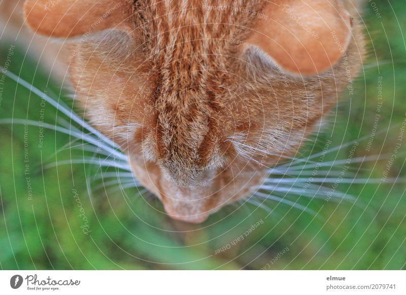 Vogelperspektive Haustier Katze Fell Fellfarbe Schnurrhaar Nase Ohr beobachten Blick Coolness kuschlig wild weich rot Vorfreude Romantik Wachsamkeit Neugier