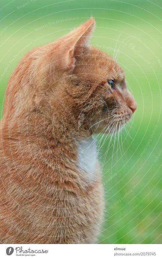 eingenordet Katze Natur schön rot elegant ästhetisch sitzen Abenteuer Lebensfreude Energie beobachten Romantik Coolness Neugier Konzentration Wachsamkeit
