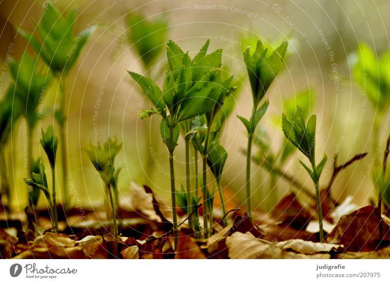Wachsen Umwelt Natur Pflanze Erde Frühling Blatt Grünpflanze Wildpflanze Wachstum natürlich Leben Farbfoto Außenaufnahme Tag Unschärfe Jungpflanze klein