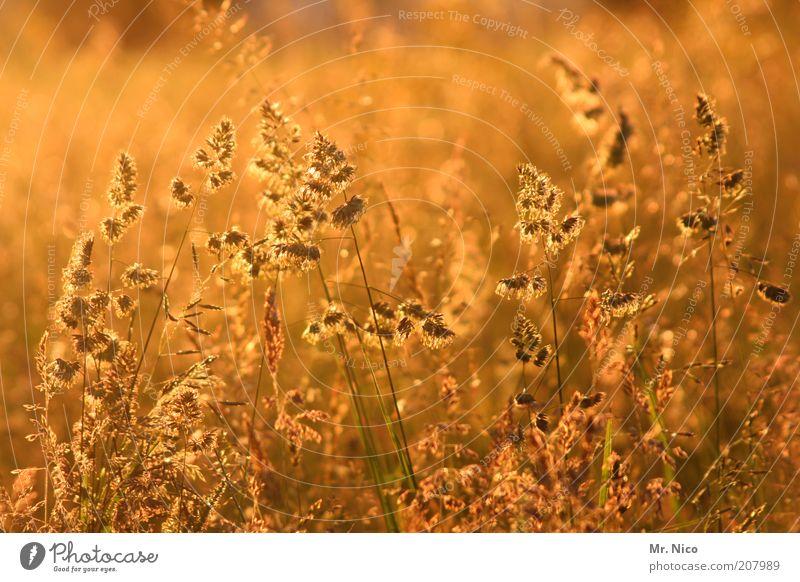 gold Natur Pflanze Sommer gelb Gras Wärme Landschaft Stimmung Feld Umwelt gold Erde Sträucher Idylle Duft Sonnenuntergang