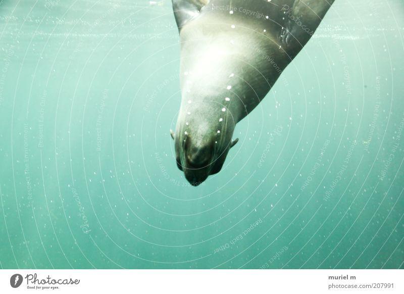 blub....blub....blub....blub....blub....blub....blub blau Wasser grün Bewegung Kopf Luft frisch leuchten Tierhaut tauchen leicht durchsichtig atmen Säugetier