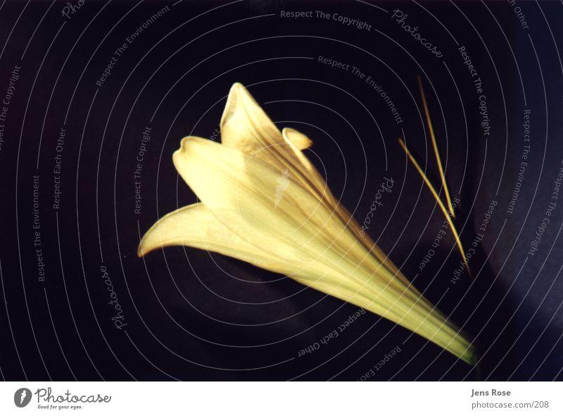lilie_04 Blüte Lilien Blume