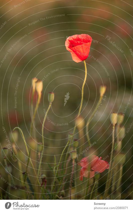 Mohnblumen Natur Landschaft Pflanze Sommer Schönes Wetter Blume Blüte Mohnblüte Wiese Blühend Wachstum klein rot Samen Farbfoto Außenaufnahme Menschenleer Tag