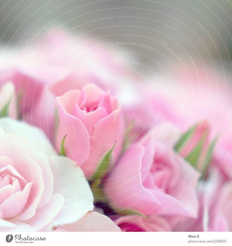 Mädchenfoto hoch2 Duft Valentinstag Muttertag Pflanze Blume Rose Blüte Blühend schön rosa rein Rosenblüte zart Farbfoto Nahaufnahme Menschenleer