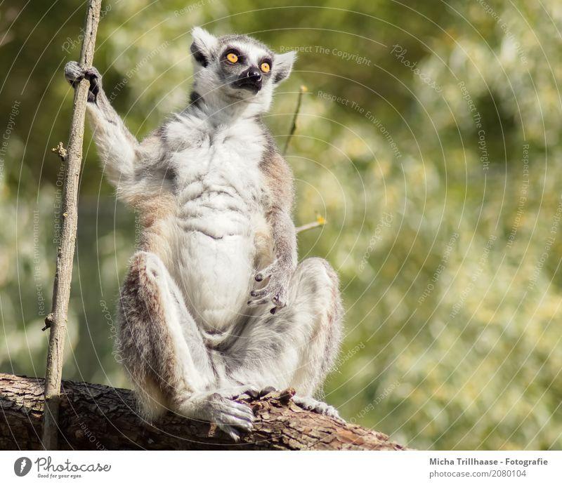 Alles im Blick Natur Tier Sonne Sonnenlicht Schönes Wetter Pflanze Baum Wildtier Tiergesicht Fell Pfote Affen Katta Halbaffen Auge 1 beobachten glänzend