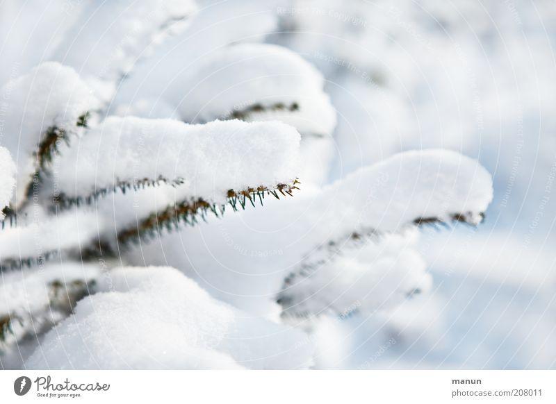 Schneeweißchen Natur Winter Eis Frost Baum Nadelbaum Tanne Tannenzweig Tannennadel Fichte hell kalt Farbfoto Außenaufnahme Menschenleer Schwache Tiefenschärfe