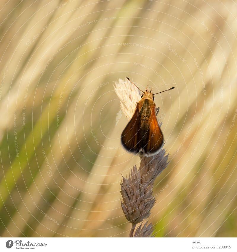 Alter Falter Natur Sommer Pflanze Tier gelb Umwelt Wiese Gefühle Gras klein Stimmung natürlich Wildtier sitzen ästhetisch Schönes Wetter