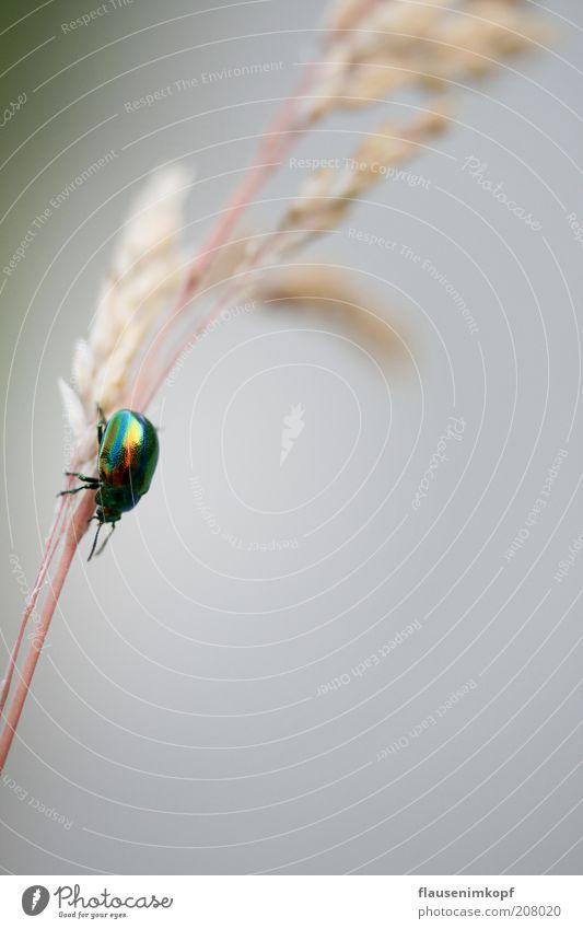 Kleiner bunter Freund ... Natur weiß grün Sommer Tier Gras Bewegung glänzend Insekt entdecken Halm Zweig Käfer krabbeln schimmern