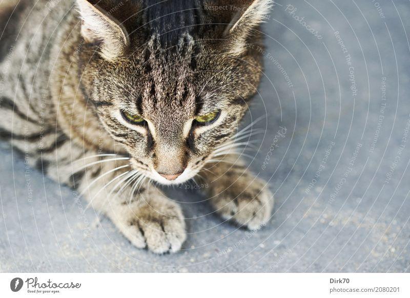Auf dem Sprung Terrasse Pflastersteine Tier Haustier Katze Tiergesicht Pfote Hauskatze Tigerkatze Tigerfellmuster tabby 1 Stein Beton beobachten Jagd liegen
