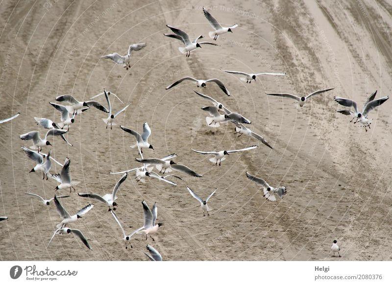 mit | Tempo | auf Futtersuche Umwelt Natur Tier Frühling Küste Strand Wildtier Vogel Möwe Schwarm Sand Bewegung fliegen Blick authentisch Zusammensein