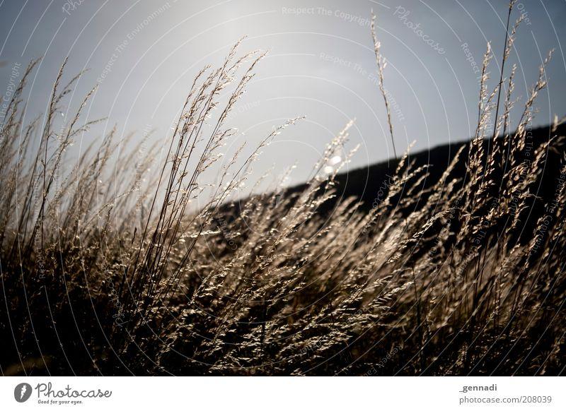 Trauer Himmel blau Pflanze schwarz Gras Traurigkeit Wind Umwelt gold trist Schönes Wetter Vignettierung Nutzpflanze Wolkenloser Himmel