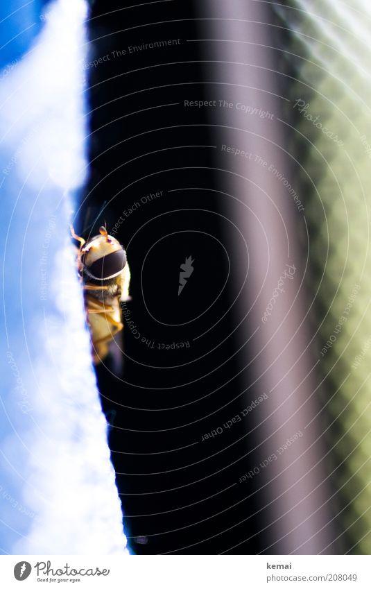 Blinder Passagier Umwelt Natur Tier Sommer Wildtier Fliege Tiergesicht Insekt Schwebfliege Fühler 1 sitzen Farbfoto Innenaufnahme Nahaufnahme