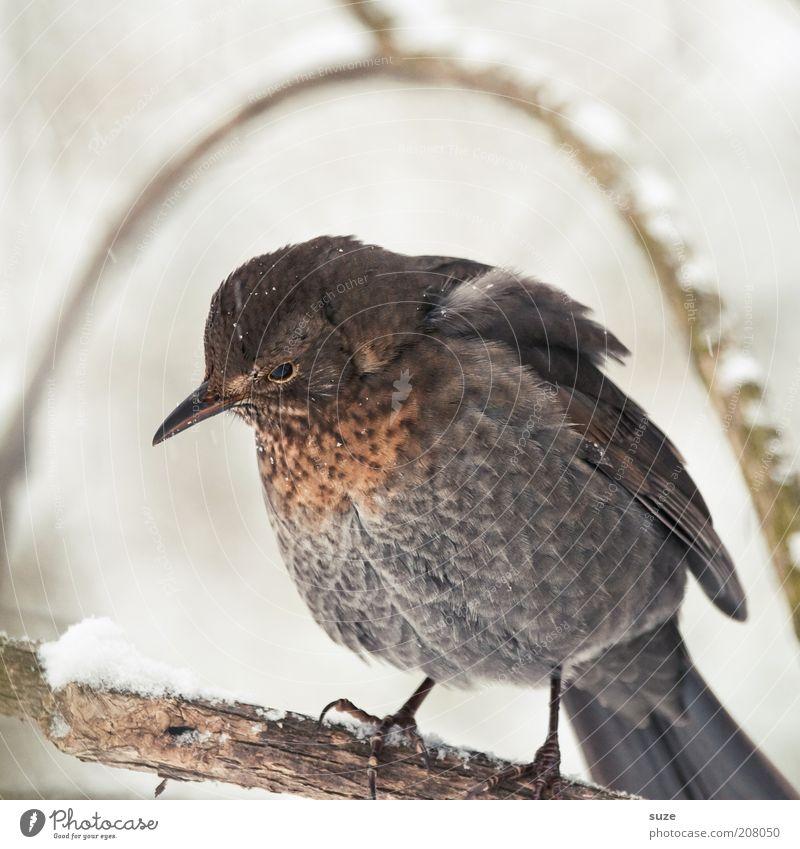 Unter der Haube Natur Pflanze Tier Winter Umwelt grau Traurigkeit klein Vogel braun Wildtier sitzen warten Feder niedlich Ast